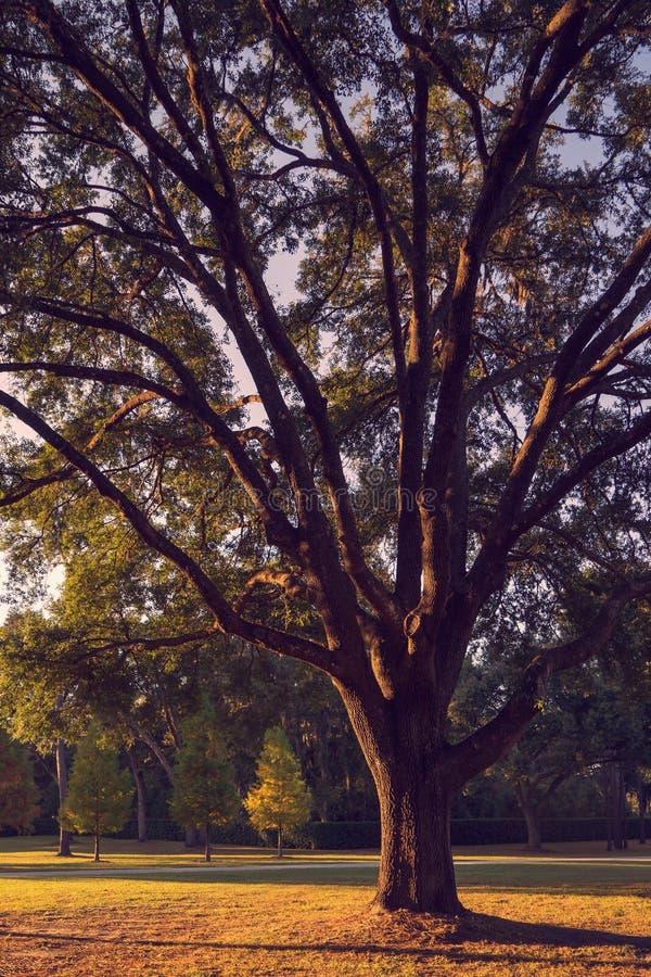 Grote levende eiken boom stock foto