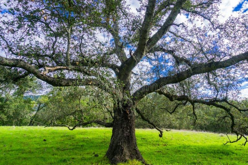 Grote levende eiken boomquercus agrifolia die zijn takken uitspreiden stock foto