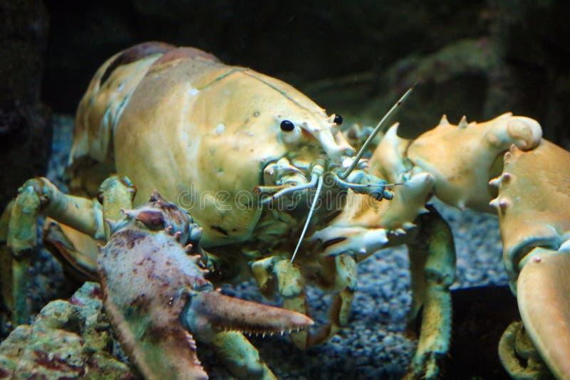 Grote levende gele zeekreeft in aquarium stock foto's