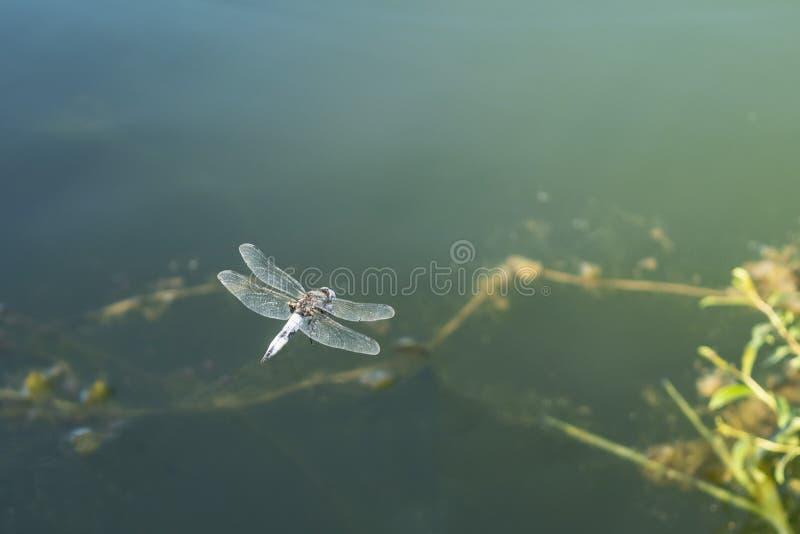 Grote libel in hangende vlucht over water Sluit omhoog stock afbeeldingen