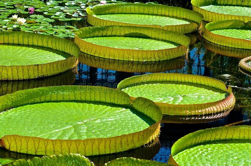 Grote Lilly Pads Floating stock afbeelding