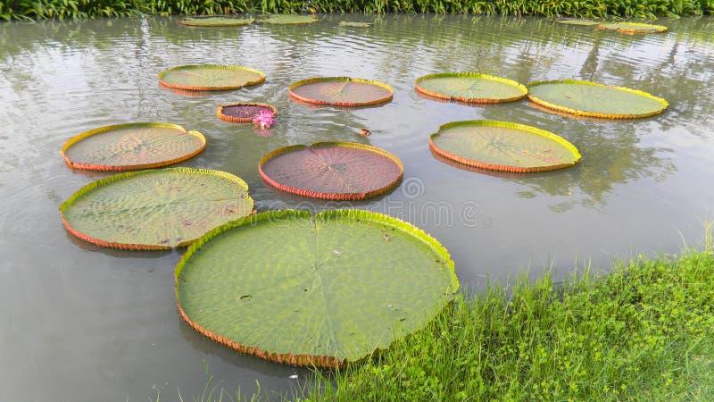 Grote lotusbloembladeren op het water stock fotografie