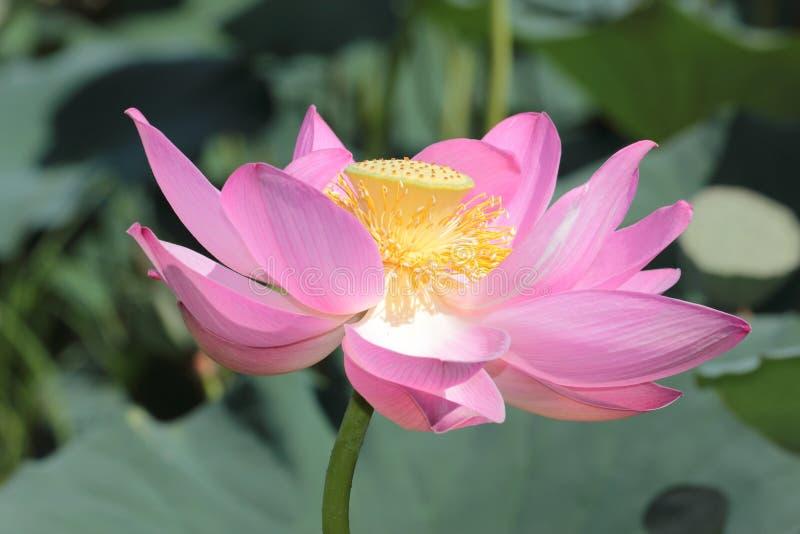 Grote lotusbloembloem Sluit omhoog stock foto