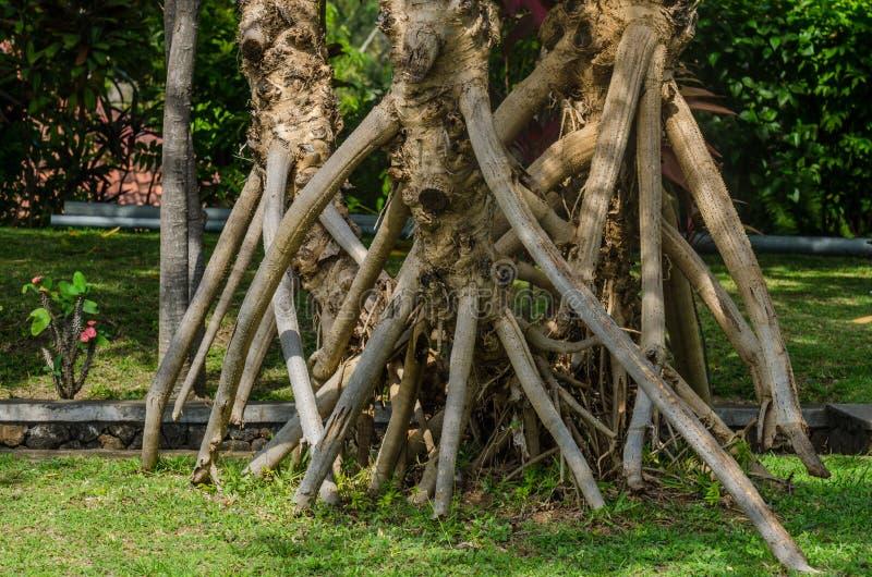 grote luchtwortels van palm stock afbeeldingen