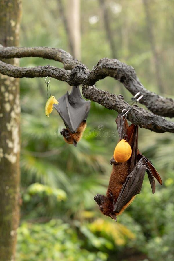 Grote Maleise vleerhond, Pteropus-vampyrus die, knuppels van een tak hangen stock foto