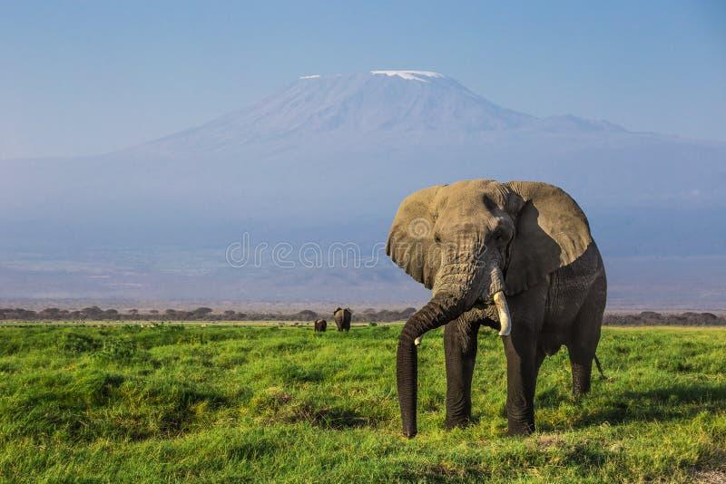 Grote mannelijke Afrikaanse olifant met het onderstel Kilimanjaro op de achtergrond in het nationale park van Amboseli (Kenia) royalty-vrije stock afbeeldingen