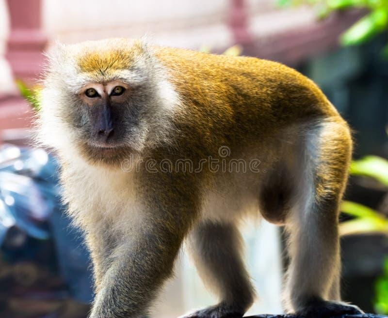 Grote mannelijke apen stock afbeelding