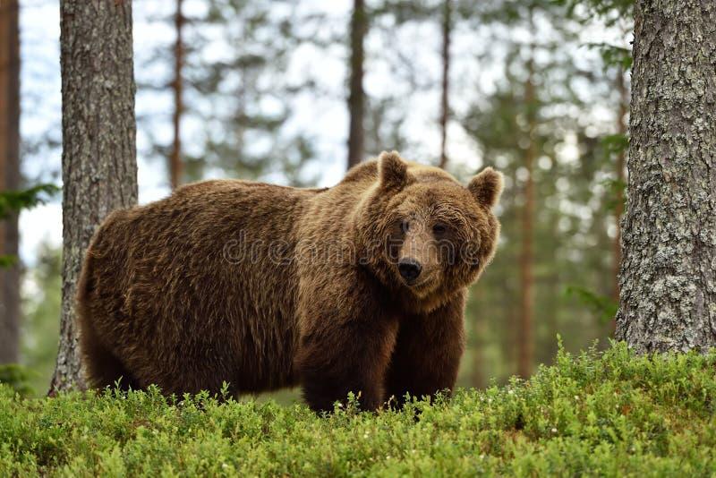 Grote mannelijke bruin draagt in bos royalty-vrije stock fotografie