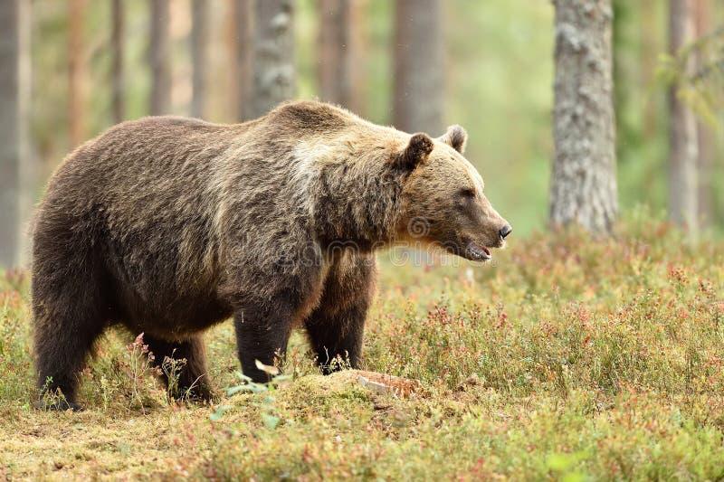 Grote mannelijke bruin draagt in de de zomer bos, natuurlijke habitat royalty-vrije stock fotografie