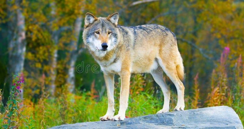 Grote mannelijke grijze wolf die zich op een rots in het bos bevinden stock afbeelding