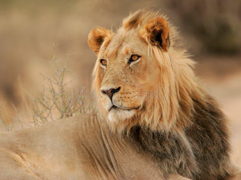 Grote mannelijke leeuw stock foto