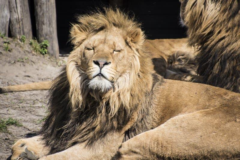 Grote mannelijke leeuw met dikke dichtbegroeide manen rond zijn hoofd slaperig in de zon stock afbeelding