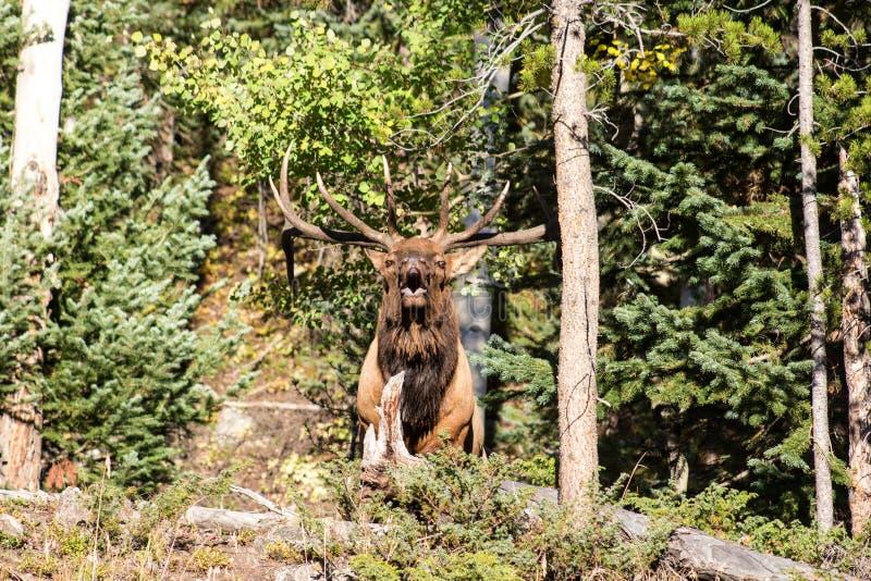 Grote Mannelijke Stierenelanden tijdens Rut Season stock afbeeldingen