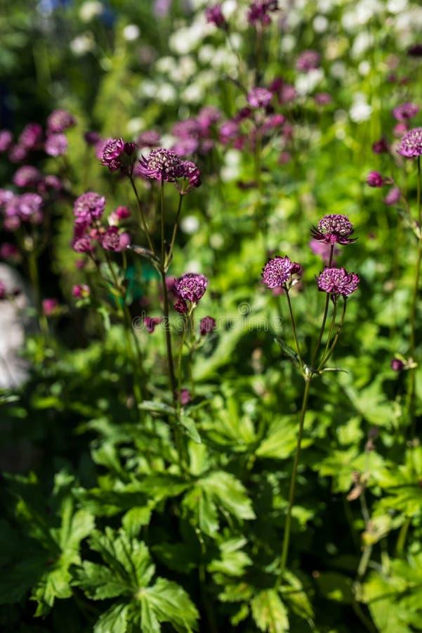Grote masterwort met purpere bloemen stock foto