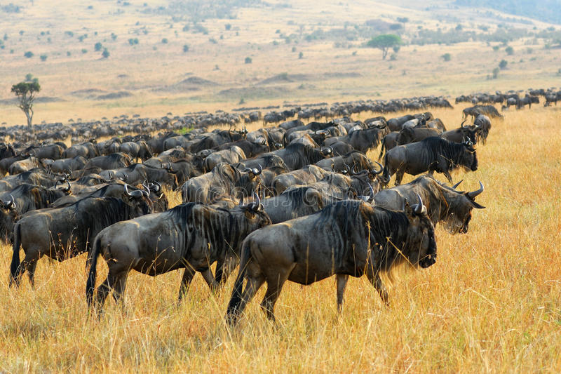 Grote migratie van het meest wildebeest antilopen, Kenia stock afbeelding