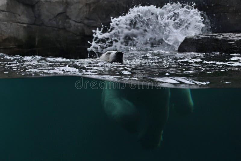 Grote mooie ijsbeer die in het ijskoude water zwemmen stock fotografie