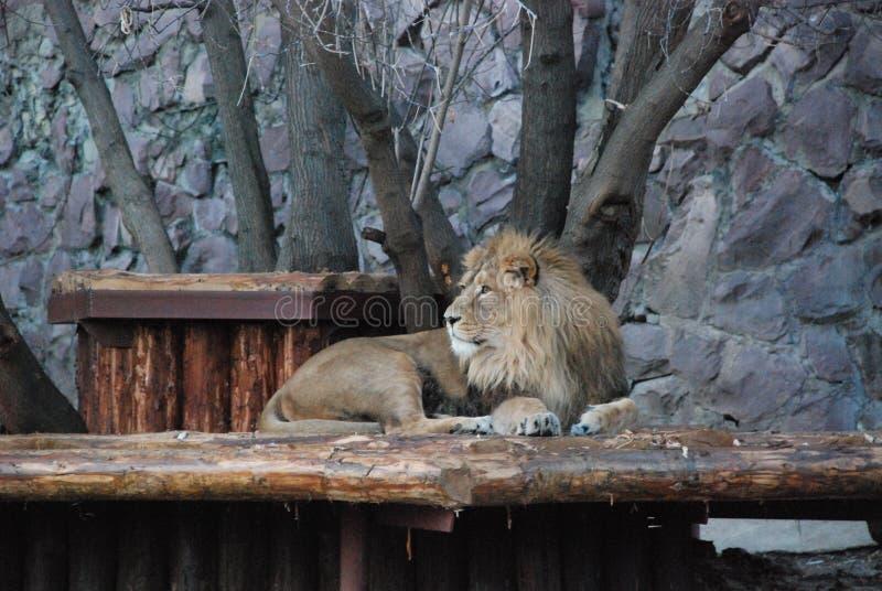 Grote mooie leeuw in de dierentuin van Moskou stock afbeelding