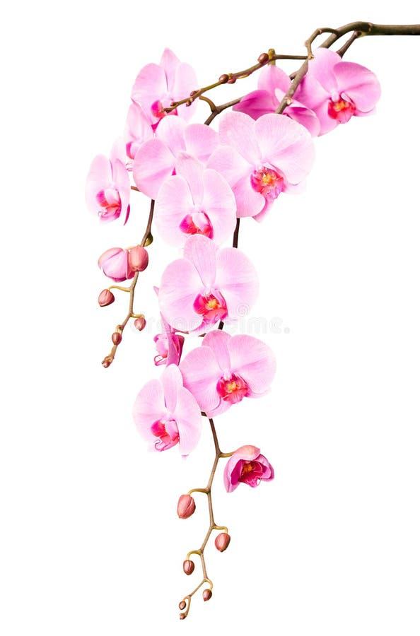 Grote mooie tak van roze orchideebloemen met knoppen stock afbeelding