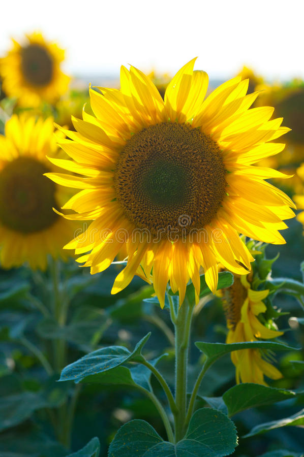 Grote mooie zonnebloemen in openlucht. royalty-vrije stock fotografie