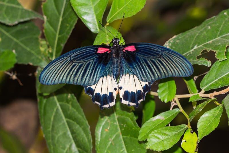 Grote Mormoonse (memnon agenor Papilio) vlinder royalty-vrije stock foto