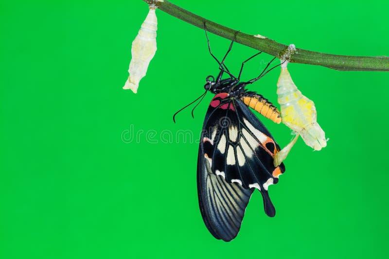Grote Mormoonse (memnon agenor Papilio) vlinder royalty-vrije stock fotografie