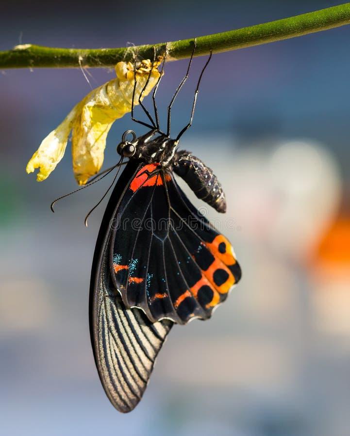 Grote mormoonse vlinder royalty-vrije stock foto's