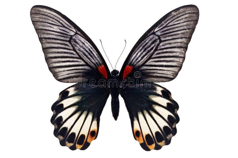 Grote Mormoonse Vlinder stock foto
