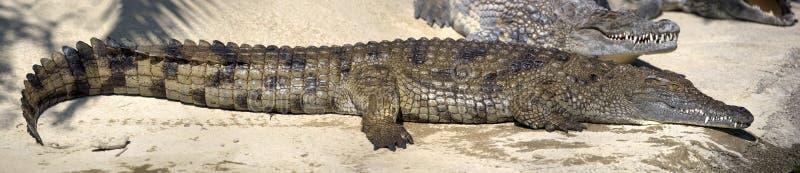 Grote natte krokodil royalty-vrije stock fotografie