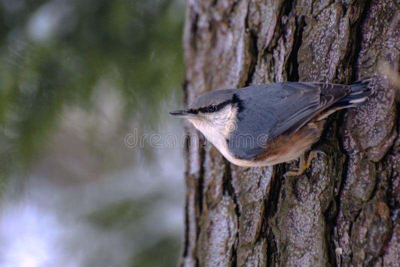 Grote nuthatch op de boomstam van dikke pijnboom royalty-vrije stock afbeelding