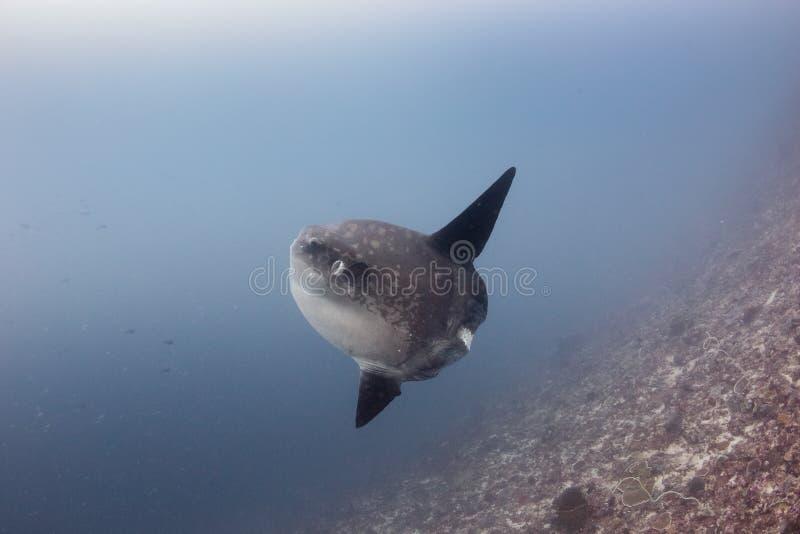 Grote Oceanic Sunfish in diep water stock afbeelding
