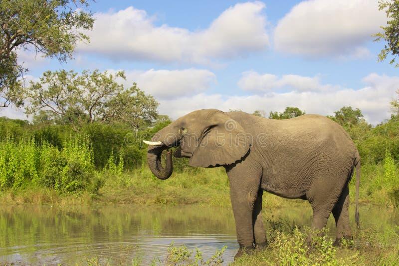 Grote olifantsstier royalty-vrije stock afbeeldingen