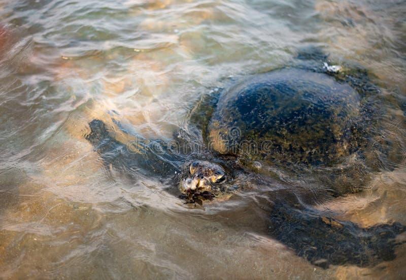 Grote olijfschildpad in het water op de kust van het Schildpadstrand in Hikkaduwa, Sri Lanka in de Indische Oceaan stock foto's