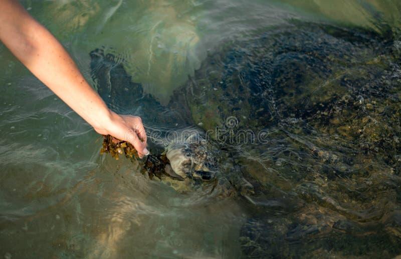Grote olijfschildpad in het water op de kust van het Schildpadstrand in Hikkaduwa, Sri Lanka in de Indische Oceaan stock foto