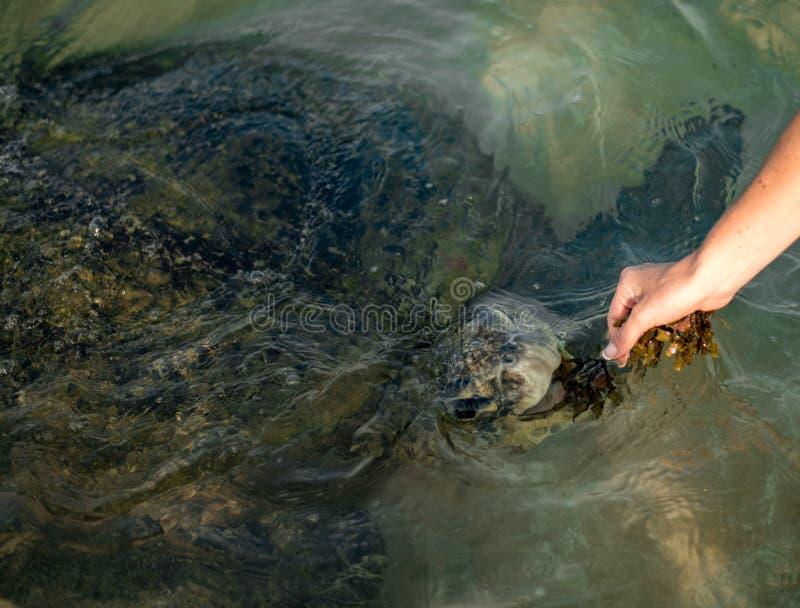 Grote olijfschildpad in het water op de kust van het Schildpadstrand in Hikkaduwa, Sri Lanka in de Indische Oceaan royalty-vrije stock afbeeldingen