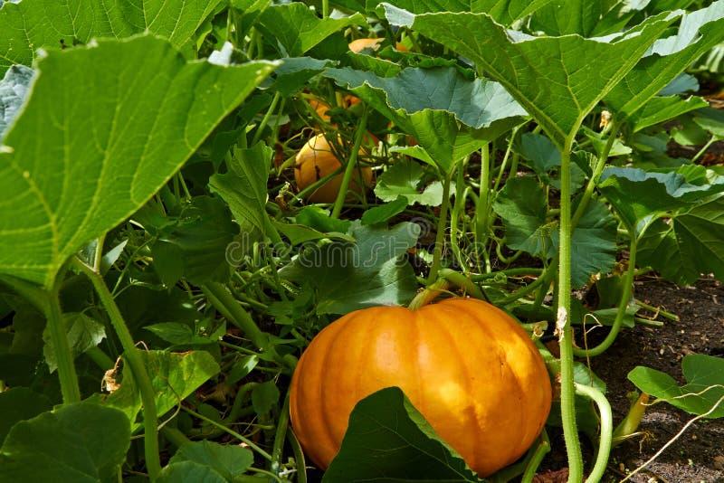 Grote oranje Pompoen royalty-vrije stock foto