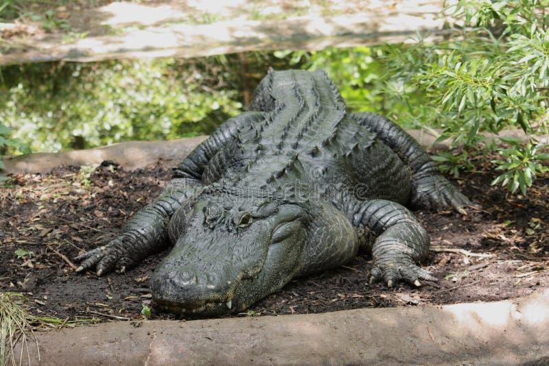 grote oude alligator royalty-vrije stock foto