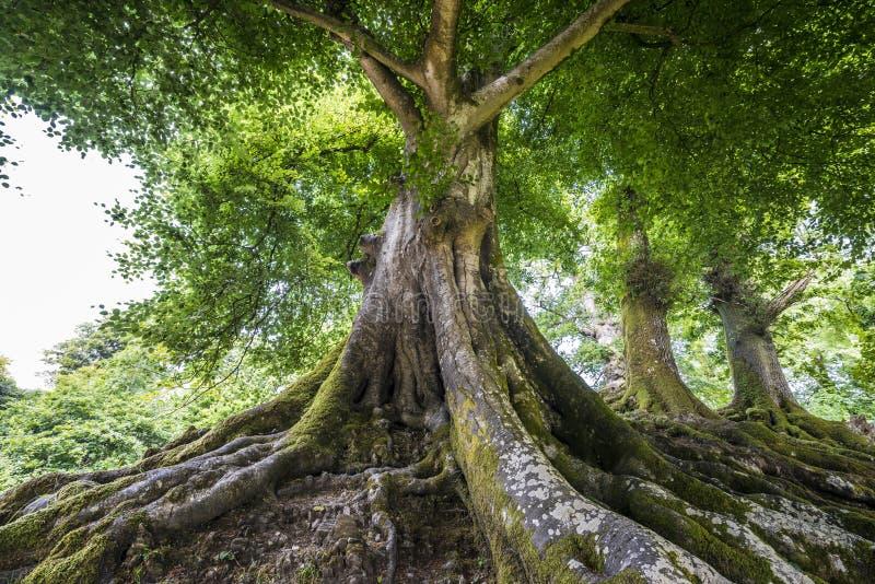Grote oude boom royalty-vrije stock fotografie