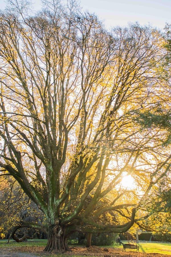 Grote oude boom, botanische tuin, Christchurch stock afbeelding