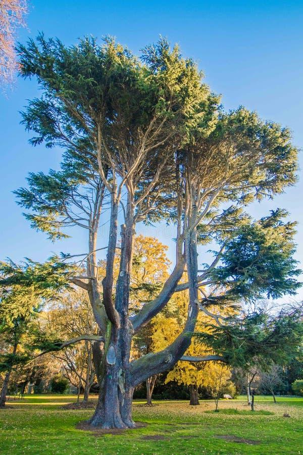 Grote oude boom, botanische tuin, Christchurch royalty-vrije stock foto's
