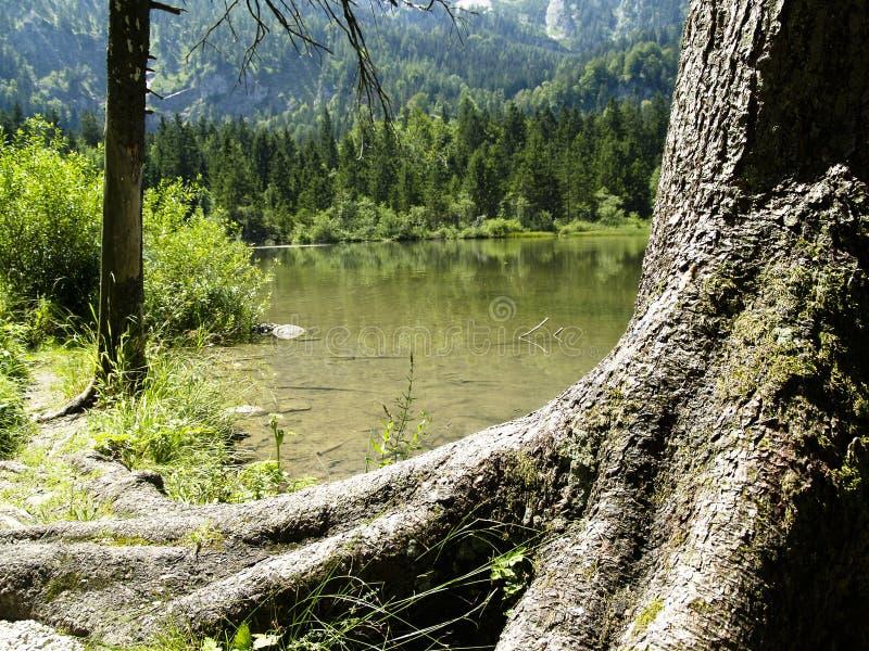 Grote oude boom op het meer stock foto