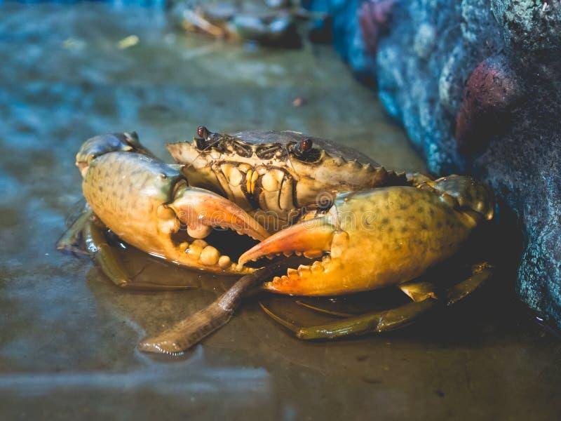 Grote overzeese krab klaar om worden gekookt royalty-vrije stock foto's