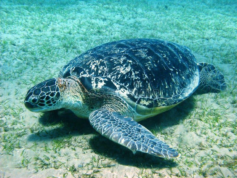 Grote overzeese schildpad royalty-vrije stock foto