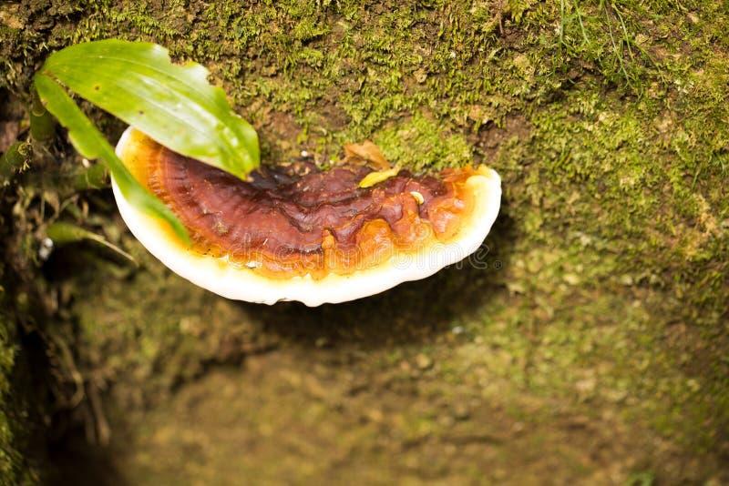 Grote paddestoel op de boomstam van een regenwoudboom, Amberberg, Madagascar royalty-vrije stock foto