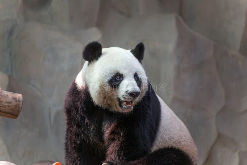 Grote panda in Chiang Mai Zoo, Thailand stock foto