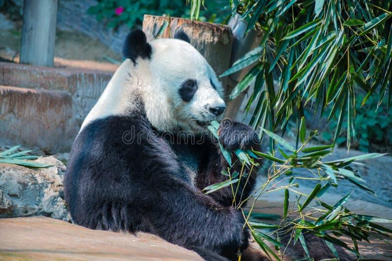 Grote panda in Chiang Mai Zoo, Thailand royalty-vrije stock fotografie