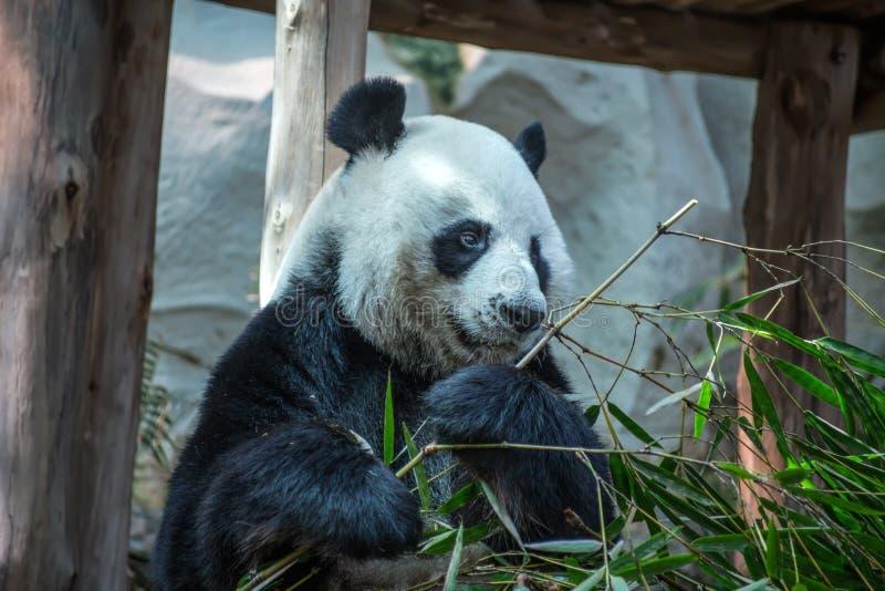 Grote panda die in Chiang Mai Zoo, Thailand eten stock fotografie