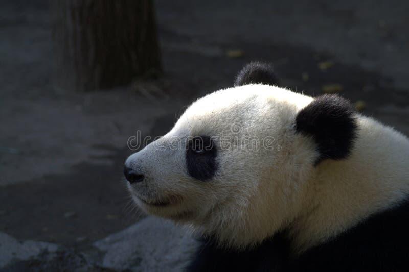 Grote panda - portret in profiel met een versmald oog stock foto