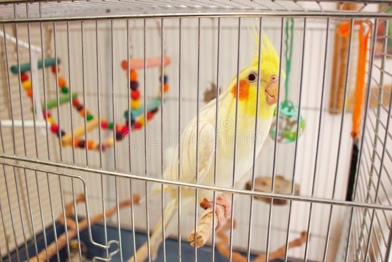 Grote Papegaai Corella in een Kooi stock afbeeldingen