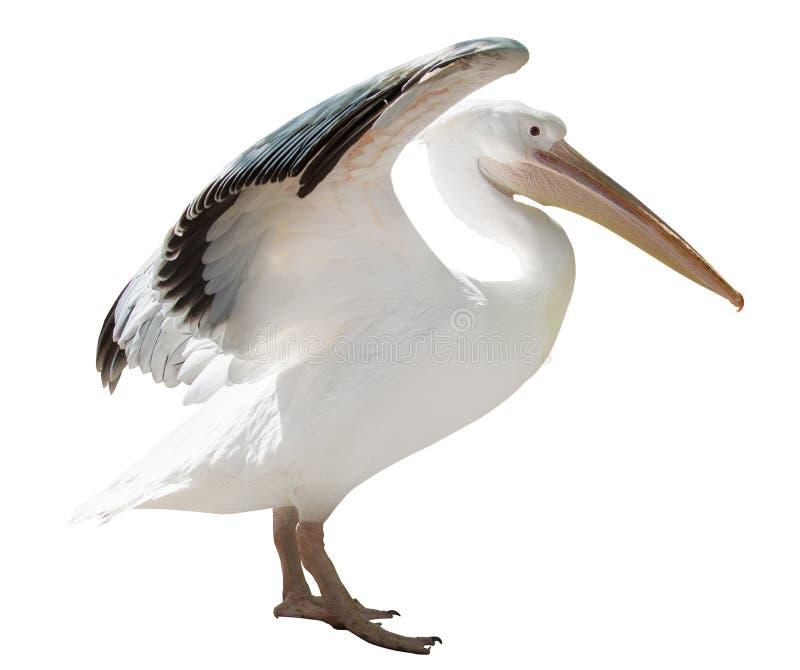 Grote pelikaan met open die vleugels op wit worden geïsoleerd stock fotografie