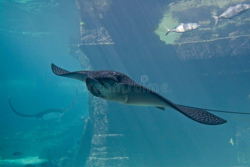 Grote Pijlstaartrog in Aquarium royalty-vrije stock foto's